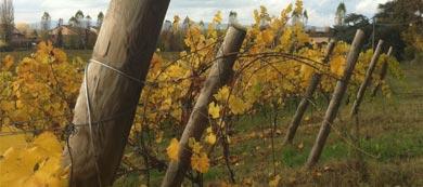 Vini bianchi colli euganei